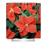 Poinsettia Varieties Shower Curtain