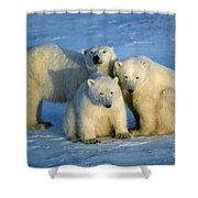 Polar Bear With Cubs Shower Curtain