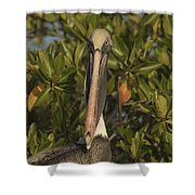 Portrait Of A Brown Pelican Pelecanus Shower Curtain