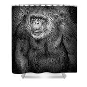 Portrait Of A Chimpanzee Shower Curtain