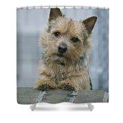 Portrait Of A Norwich Terrier Shower Curtain