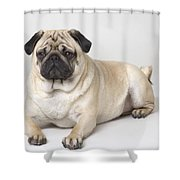 Portrait Of A Pug Dog Shower Curtain