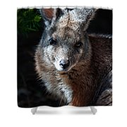 Portrait Of A Wallaby Shower Curtain