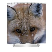 Portrait Of Adult Red Fox Shower Curtain