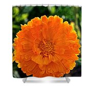 Pot Marigold  Shower Curtain