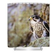 Prairie Falcon On Rock Ledge Shower Curtain