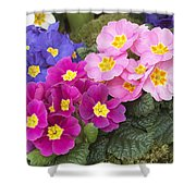 Primrose Primula Sp Flowers Shower Curtain
