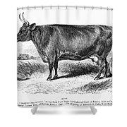 Prize Devon Cow, 1855 Shower Curtain