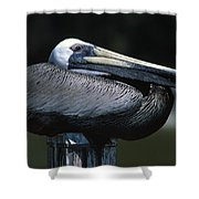 Profile Of Brown Pelican On Post Shower Curtain