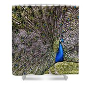 Proud Peacock At Leeds Castle Shower Curtain