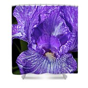 Purple And White Stiped Iris Shower Curtain