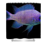 Purple Chromis Shower Curtain