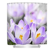 Purple Crocus Blossoms Shower Curtain