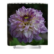 Purple Dahlia 3 Shower Curtain