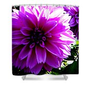 Purple Dahlia Shower Curtain