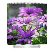 Purple Daisies  Shower Curtain