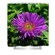 Purple Dome New England Aster Shower Curtain