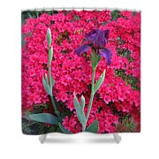 Purple Iris In Pink  Shower Curtain