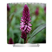Purple Parfait Shower Curtain