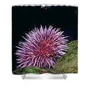 Purple Sea Urchin Feeding California Shower Curtain