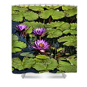 Purple Water Lilies - Nymphaea Capensis  Shower Curtain