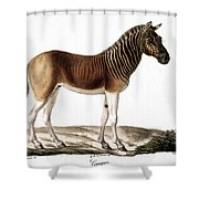 Quagga (equus Quagga) Shower Curtain