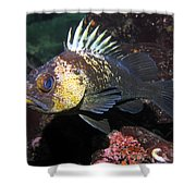 Quillback Rockfish  Shower Curtain