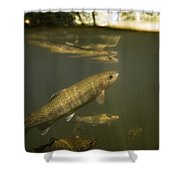 Rainbow Trout In Creek  Aptos California Shower Curtain