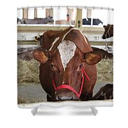 Red And White Cow In A Stable Close Up Shower Curtain