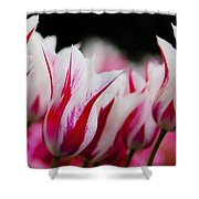 Red And White Tulips In Holland Shower Curtain