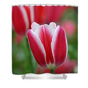 Red And White Tulips Shower Curtain