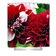 Red And White Variegated Dahlia Shower Curtain