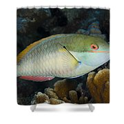 Red-banded Parrotfish Bonaire Shower Curtain