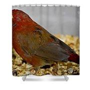 Red Billed Fire Finch Shower Curtain