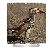 Red-billed Hornbill Shower Curtain
