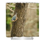 Red-breasted Nuthatch Shower Curtain