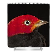Red-capped Manakin Pipra Mentalis Male Shower Curtain