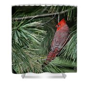 Red Cardinal In Green Pine Shower Curtain