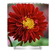 Red Dahlia Unfurled Shower Curtain