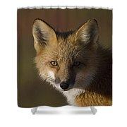 Red Fox Vulpes Vulpes Portrait, Alaska Shower Curtain