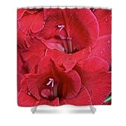 Red Gladiolus Shower Curtain by Susan Herber