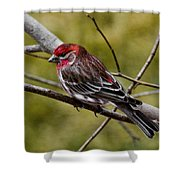 Red Head Black Tail Shower Curtain