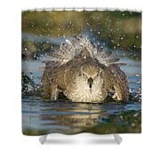 Red Knot Calidris Canutus Bathing, Den Shower Curtain