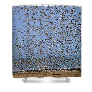 Red Knot Calidris Canutus Flock Flying Shower Curtain