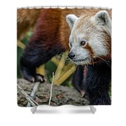 Red Panda Exploration Shower Curtain