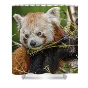 Red Panda Grasping Shower Curtain