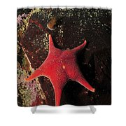 Red Sea Star And Limpet On Brown Rock Shower Curtain
