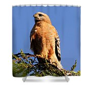 Pismo Beach Red Shoulder Hawk Shower Curtain