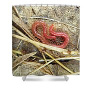 Red Soil Centipede - Strigamia Shower Curtain