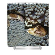 Red-spotted Porcelain Crab Hiding Shower Curtain